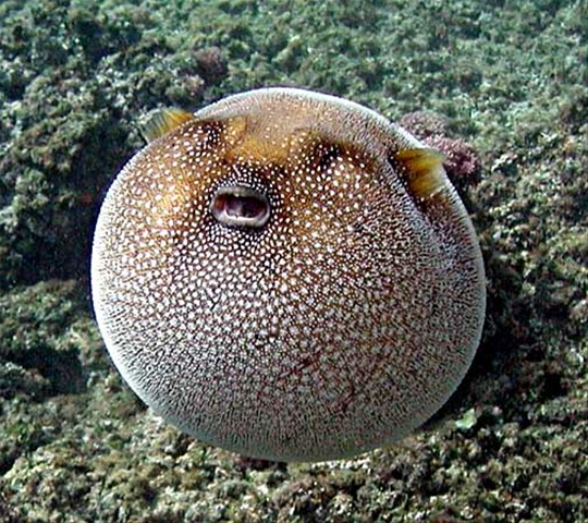 Puffer-fish-facts-ball-puffer-fish