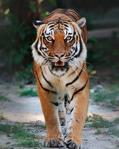 animals,photography,tiger,wallnest,wallpaper-f5950509f22c026b3e62b2a466fc8f42_h